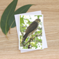 Brown Goshawk - Photographic Card #40