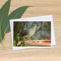 Female or Juvenile Male Satin Bowerbird  - Photographic Card #41