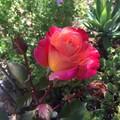 Rose & Rose Geranium Facial Oil