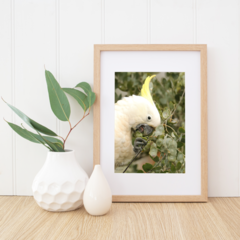 Sulphur-Crested Cockatoo Close Up - A4 photgraphic print