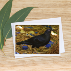 Male Satin Bowerbird at his Bower - Photographic Card #43