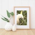 Sulphur-Crested Cockatoo Close Up - A4 photgraphic print