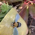 Native Blue Banded Bee Planter