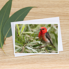 Scarlet Honeyeater in a Callistemon - Photographic Card #47