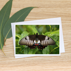 Female Orchard Swallowtail Butterfly  - Photographic Card #47