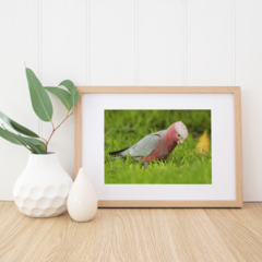 Young Galah - A4 photographic print