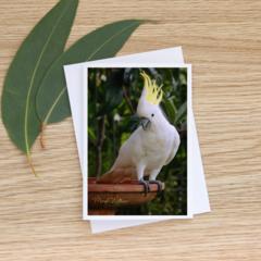 Sulphur-Crested Cockatoo at the birdbath - Photographic Card #51