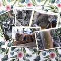 KOALAS OF TOCUMWAL NSW CARDS