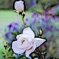 Rose Canvas Framed