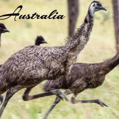 Emu Postcard