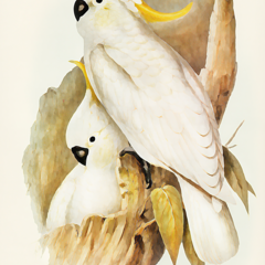Nesting Cockatoos. Reproduction Fine Art Print (Limited Edition)