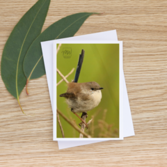 Male Superb Fairy-Wren out of breeding season  - Photographic Card #63