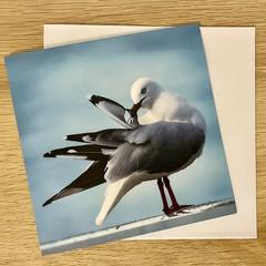 Seagull Preening. -  Free Postage