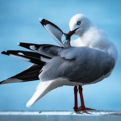 Australian Seagull Preening 12x12