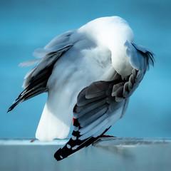 Australian Seagull - Under My Wing