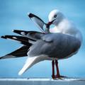 Australian Seagull Preening 12x12 inches - Free Shipping!