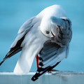 Australian Seagull 12x12 inches - Free Shipping!