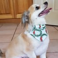 Christmas Dog Puppy Bandana Cat Pet Size XS Over collar design