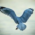 Gull In Flight -A3 Fine Art Giclée Print - Free Shipping!