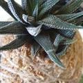 Kokedama   Succulent (Medium)