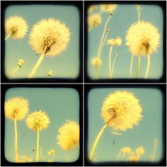 Dandelion Set of TtV Photo Prints.