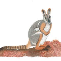 Rock wallaby, Australian wildlife, art print, home or nursery decor