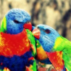 Rainbow Lorikeets Photograph 5x5 inch Bird Print