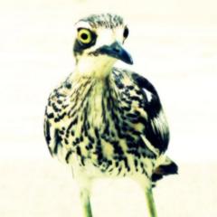 Bird Photography, Bush Stone Curlew 5x5 inch Print