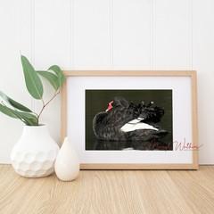 Black Swan Elegance - A4 photgraphic print