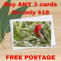 Rainbow Lorikeet in a Flowering Scribbly Gum  - Photographic Card #66