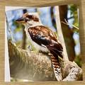 Kookaburra - Free Postage