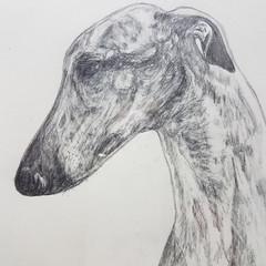Greyhound Headstudy