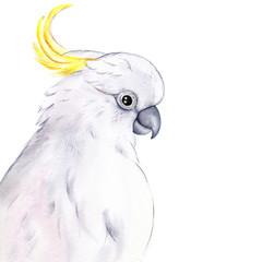 Art Print 'The Entertainer'  - Sulphur Crested Cockatoo