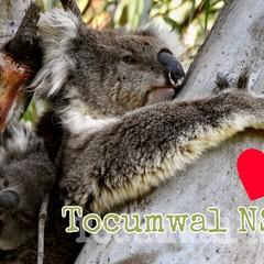 TOCUMWAL NSW KOALA POSTCARD
